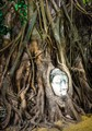 Buddha's head in banyan tree