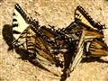 It is busy butterflies rally. DSC08180