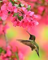 Male Ruby Throated Hummingbird looking at Crab Apple blossoms.