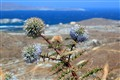 Thistle in front of Appollo Sanctuary (Delos, Cyclades, Greece)