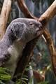 Koala Bear - Cleveland Metroparks Zoo