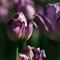 10D Tulips