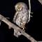 DSC06424-Edit: Elf owl (about size of sparrow)