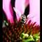 Shoe Fly on Echinacea