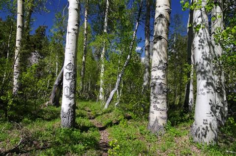 Aspen Tree grove.