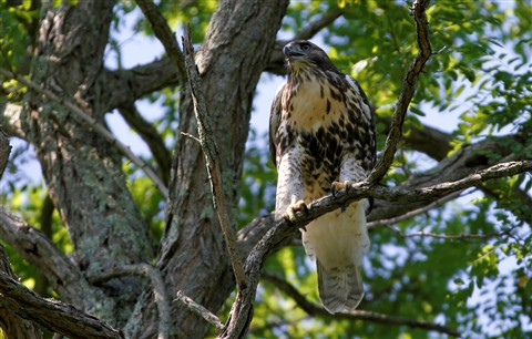 Red Tailed Hawk (21)