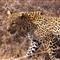 LeopardWalking01_sm