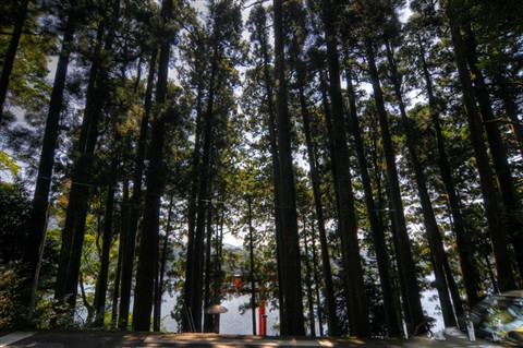 Hakone Tall Trees