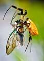 spider w cicada