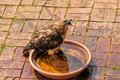 Red Tail Hawk in my garden bird bath