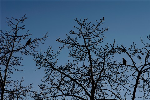 2012-02-21_16-53-07 • NEX-5N + Tele-Elmar 135mm f4 - Doves in Tree_00