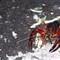 Crayfish (Procambarus clarkii)