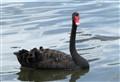 (Perth) Black Swan