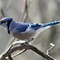 Blue Jay Pic 2Z Signed P3280259