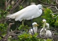 Momma Egret watching over her babies.