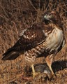 Red-tailed hawk with rabbit