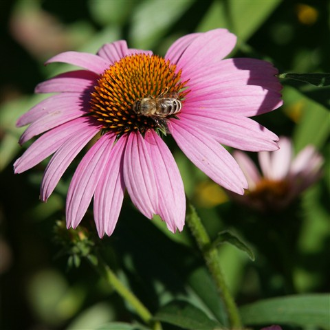 Purple cone with bee