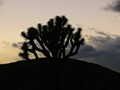 Joshua Tree National Park at twilight.  These trees may soon be gone.