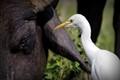 Cattle n Egret