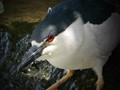 Glare of the Night Heron