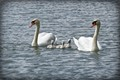 cute swan family, please view @ full resolution  FOVEON powered