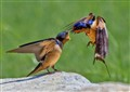 Swallow Lunch