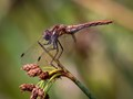 Young Striped Meadowhawk
