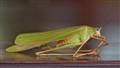 Grasshopped