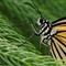 butterfly_macro_b