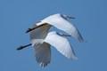 egret synchron flying!