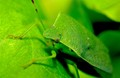 The Green World of the Shield Bug