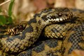 Female Adders (Vipera berus)