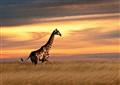 Etosha Giraffe Sunset 1024ppi