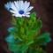 White Flower-2