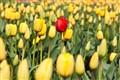 tulips-8775