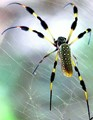 Yellow Silk Spider