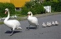 The danish national bird: Cygnus olor (mute swan)