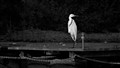 Heron on a peer (in B&W)