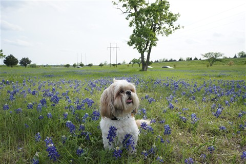 Sophie in Bluebonnets