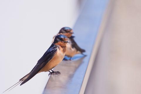 Capistrano Swallow