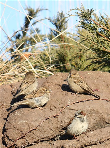 Sparrows on the Rocks