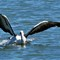 pelican lands on water: Hawkesberry River, NSW