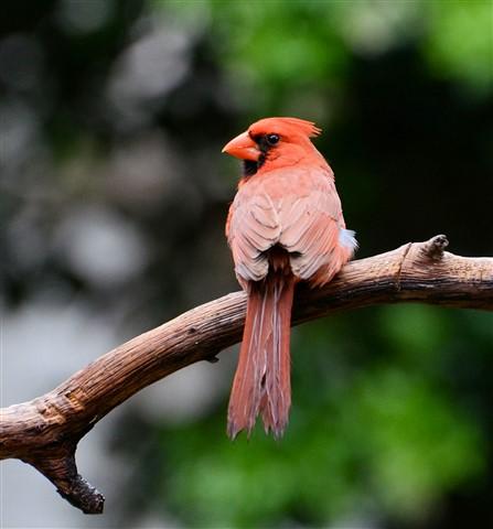 cardinal.24