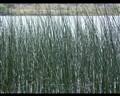 Long Reeds