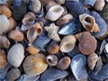 Shells cover the shore on the island Nord-Koster on the Swedish East coast. A true holiday paradise for children, who can still see the treasures that surrounds them...
