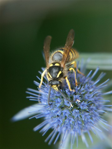 Wasp on echinops flower