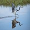 Tri Colour Heron copy: OLYMPUS DIGITAL CAMERA