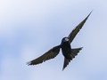Male Adult Purple Martin. Largest bird in the swallow family.