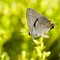 20210911-DR404201: Gray Hairstreak butterfly