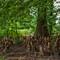 Cypress Knees_col